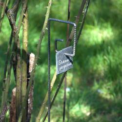 Tuteur métallique de jardin PIET fer cannelé avec étiquette ardoise carrée sur rosier stanwell perpetual
